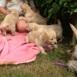 golden-retriever-puppies-57911430e4b31