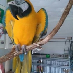 macaw-for-sale-850-including-cage-etc-578fc7e603138