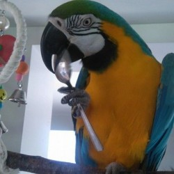 macaw-for-sale-850-including-cage-etc-578fc7de8f856