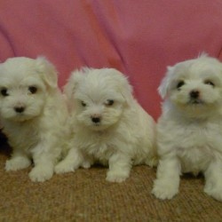 maltese-females-and-male-puppies-kc-registered-59b5b9fcac8fc