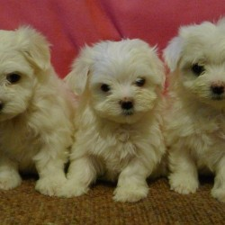 maltese-females-and-male-puppies-kc-registered-59b5b9fda6858